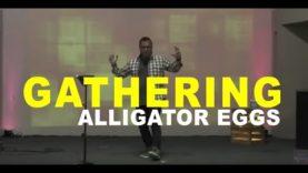 Gathering Alligator Eggs